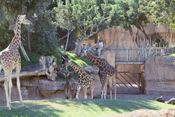 Giraffe al Bioparc