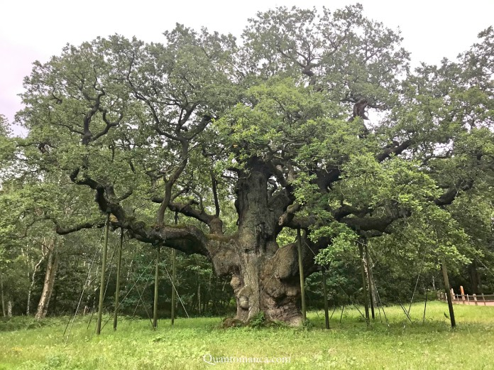 inghilterra cosa vedere, major oak sherwood forest